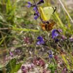 Papillon Soufré ailes ouvertes
