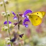 Papillon Soufré mâle - Colias Hyale