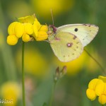 Colias Hyale femelle