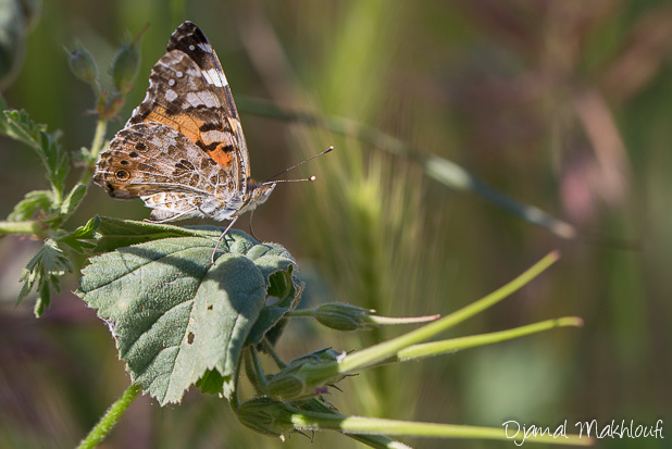 Vanesse du chardon - Papillon diurne