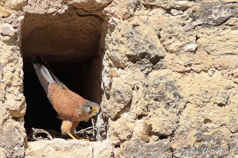 faucon crécerelle mâle - Oiseau de la forêt de fontainebleau
