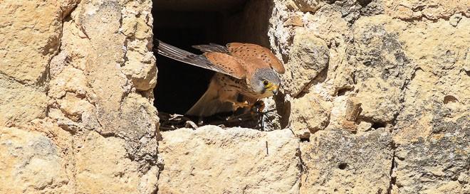Faucon crécerelle mâle - Falco tinnunculus
