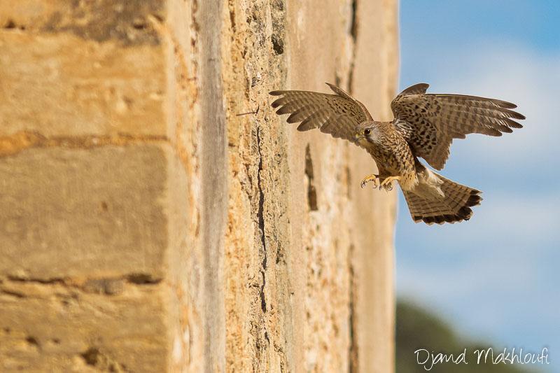 Faucon crécerelle femelle à l'arrivée au nid