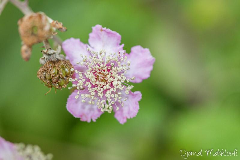 Fleur de ronce - Roncier