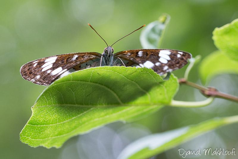 Petit Sylvain (Limenitis camilla)