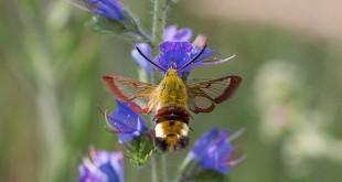 sphinx du chèvrefeuille - Papillons de la forêt de Fontainebleau