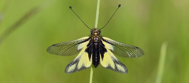 Ascalaphe soufré femelle - Libelloides coccajus