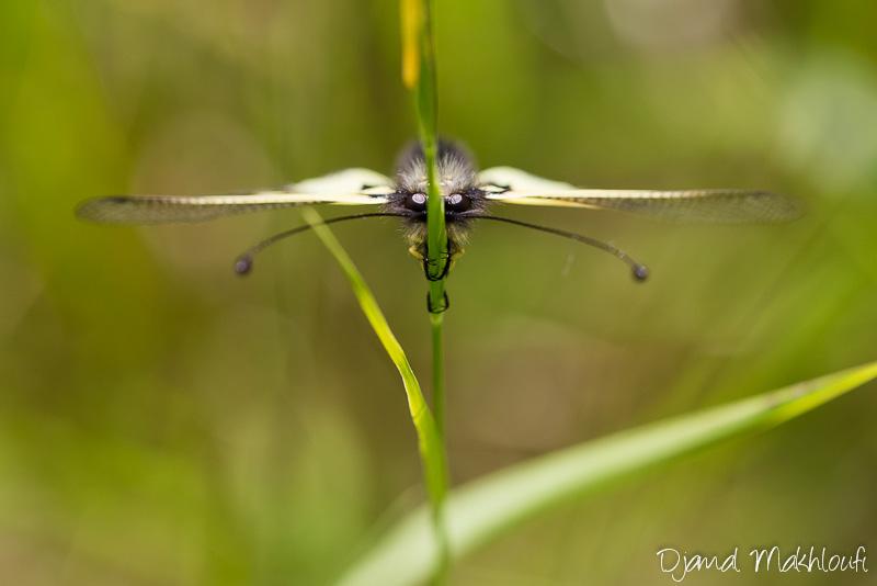 Ascalaphe soufré - Insecte de Seine et Marne