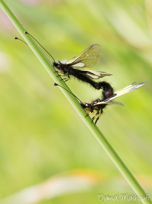 Accouplement ascalaphe soufré - Ascalaphidae de Seine et Marne