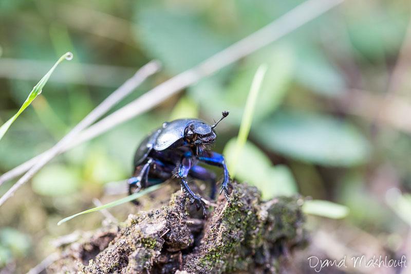 Bousier de la forêt - Insecte de la forêt de Fontainebleau