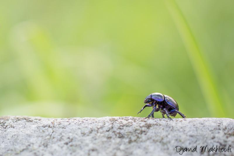 Bousier des bois - Geotrupes stercorosus - Scarabée de la forêt de Fontainebleau