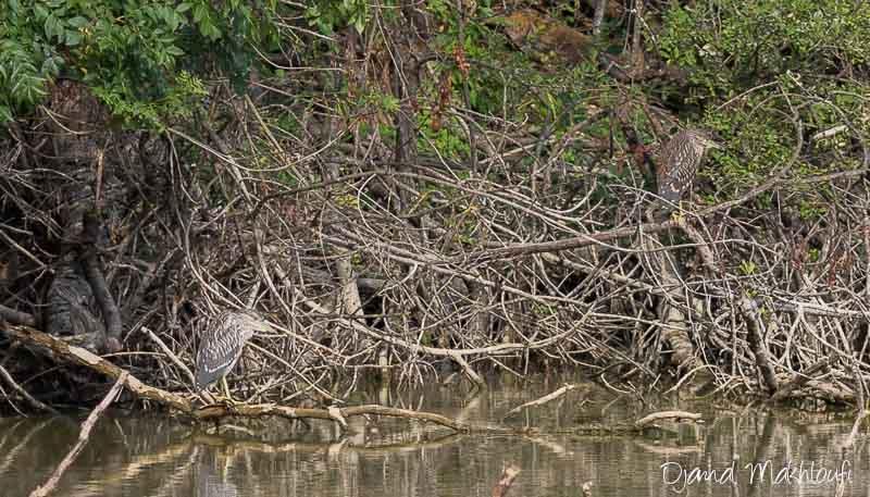 Hérons bihoreaux juvéniles