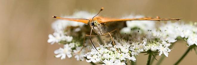 Tabac d'Espagne - Papillon de la forêt de Fontainebleau