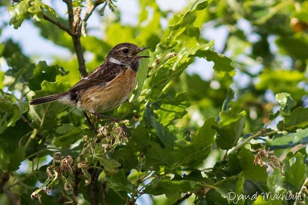 Tarier Pâtre femelle - Oiseau de la forêt de Fontainebleau