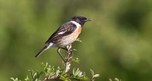 Tarier pâtre mâle - Saxicola rubicola