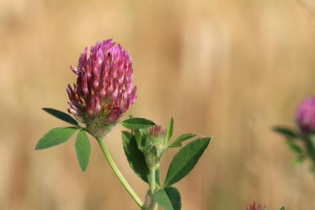 Plantes mellifères - Trèfle des champs (Trifolium campestre)
