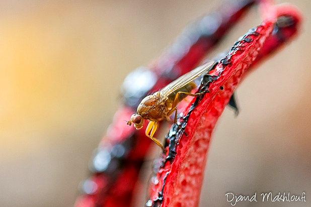 Champignon invasif en provenance d'Australie