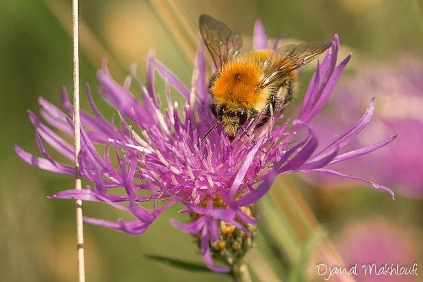 Bourdon des champs sur fleur violette