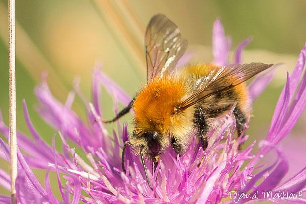 Bourdon des champs (Bombus pascuorum) - Insecte de la forêt de Fontainebleau