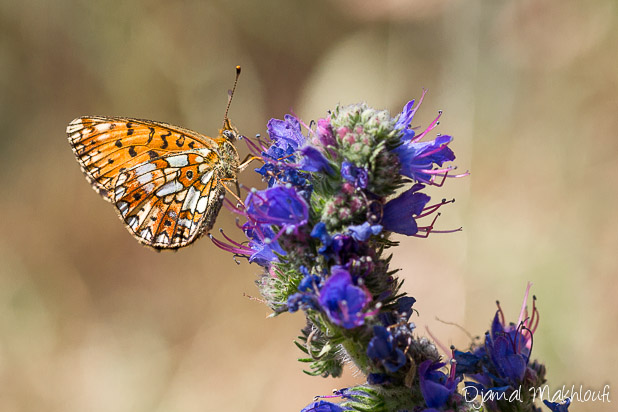 Petit collier argenté - Papillon de la forêt de Fontainebleau