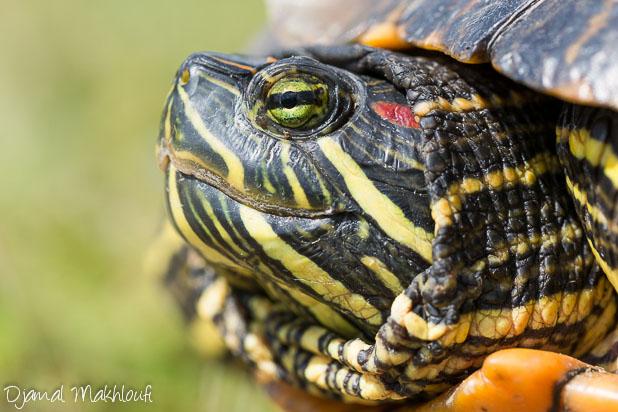 Tortue Carnivore - tortue de Floride - tortue d'eau