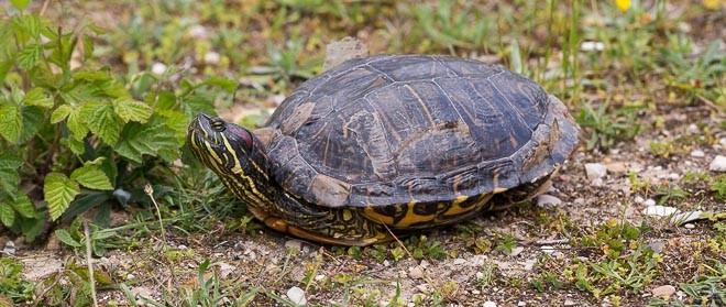 Tortue de Floride ou tortue d'eau - Trachemys scripta elegans