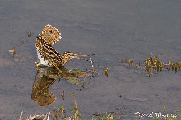 Bécassine des marais - Oiseaux de la forêt de Fontainebleau