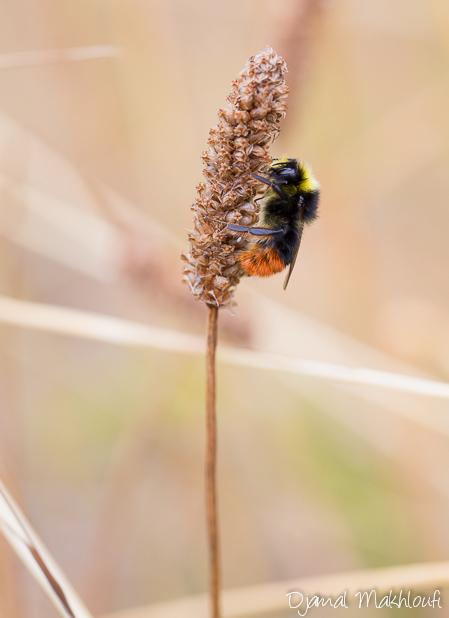Bourdon des prés femelle (Bombus pratorum)