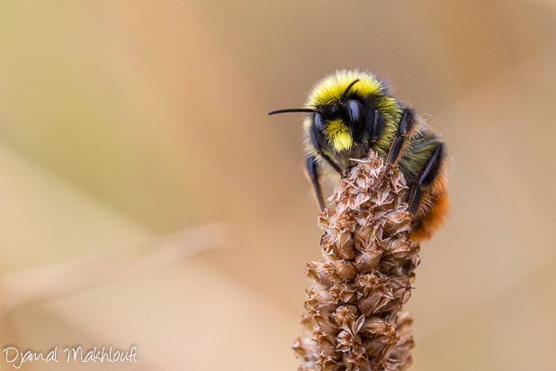Bourdon des prés - Insecte de la forêt de Fontainebleau