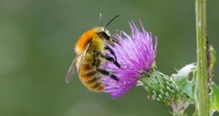 Bourdon des champs - Insecte de la forêt de Fontainebleau