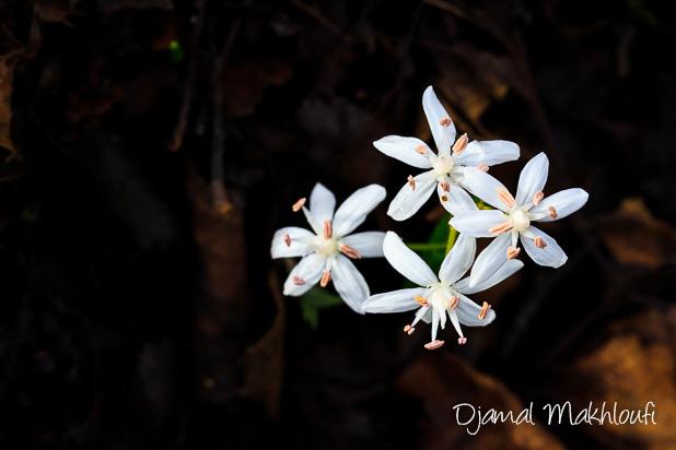 Scille à 2 feuilles blanche