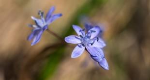 Scille à deux feuilles - Flore de la forêt de Fontainebleau