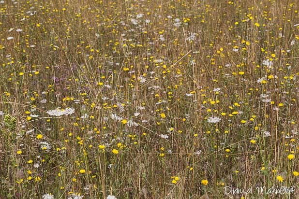 Prairie fleurie de la forêt de Fontainebleau