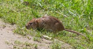 Rat d'égout - Surmulot - Rattus Norvegicus