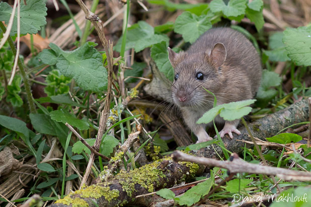 Rat d'égout (Rattus norvegicus) - Surmulot - Rat Gris