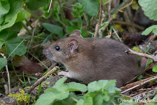 Rat d'égout - rat gris - rat des villes