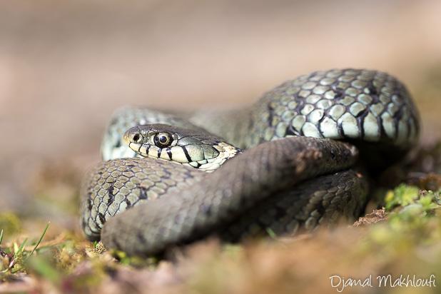 Couleuvre à collier - Reptile de la forêt de Fontainebleau