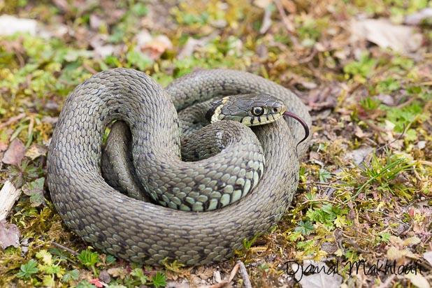 Couleuvre à collier - Serpent de la forêt de Fontainebleau
