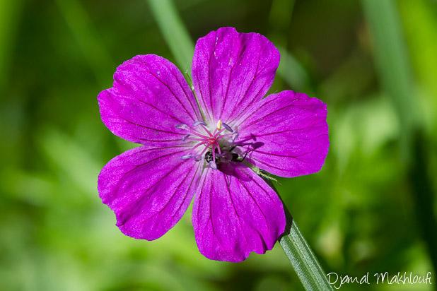 Géranium sanguin - Fleur sauvage de la forêt de Fontainebleau