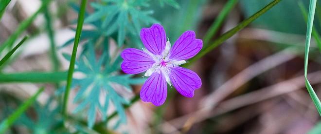 Géranium sanguin - Geranium sanguineum