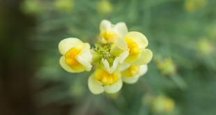 Linaire commune - Linaria vulgaris