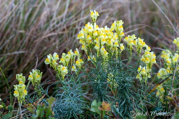 Linaire commune - Fleur de la forêt de Fontainebleau