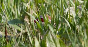 Perdrix rouge - Alectoris rufa