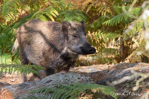 Laie - Sanglier sauvage en forêt de Fontainebleau - Image de sanglier