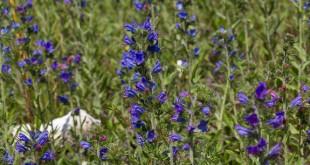 Vipérine commune - Echium vulgare
