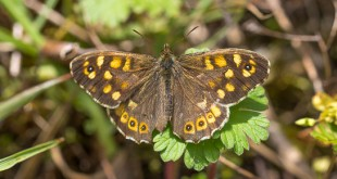 Tircis (Pararge aegeria) - Papillon des bois