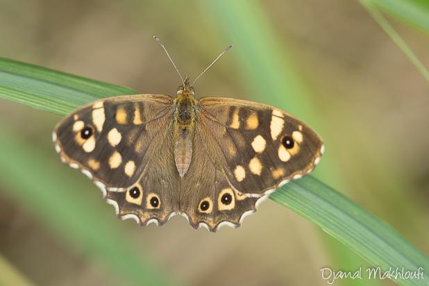 Tircis (Pararge aegeria) - Insecte de forêt de Fontainebleau