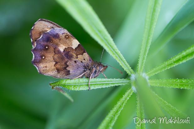 Tircis (Pararge aegeria) - Papillon de forêt de Fontainebleau