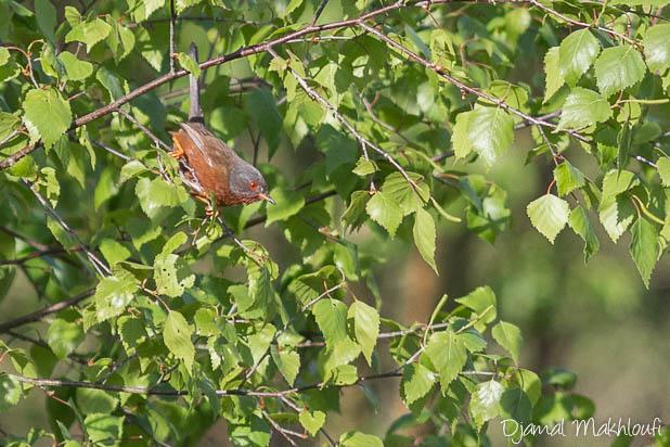 Fauvette pitchou mâle - Oiseau des landes à bruyères