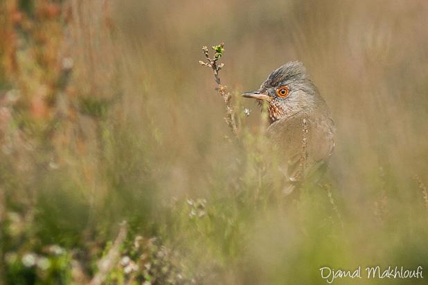 Fauvette pitchou - Oiseau de la forêt de Fontainebleau